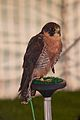 Peregrine Falcon, Cheshire Game and Country Fair 2014.jpg