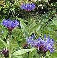 Perennial Cornflower - geograph.org.uk - 178115.jpg