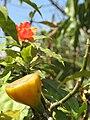 Pereskia bleo fruit.JPG