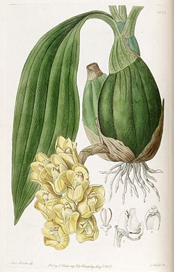 Illustration of Peristeria cerina