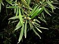 Persoonia silvatica 6956.jpg