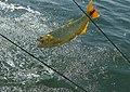 Pesca de dorados en el río juramento, Provincia de Salta.jpg