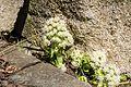 Petasites albus Pettenbach Seisenburg q.jpg
