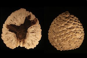 Macrofossil - Image: Petrified Araucaria cone from patagonia Edit 3