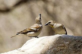 Salim Ali - Yellow-throated sparrow