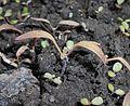 Phacelia tanacetifolia 2017-04-23 8513.jpg