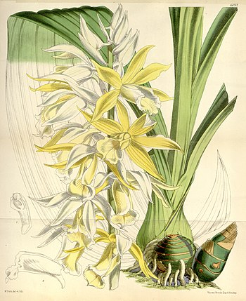 Illustration of Phaius australis var. bernaysi...