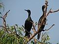 Phalacrocorax fuscicollis -Ranganthittu-8.jpg