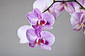 Phalaenopsis cultivar 03.jpg