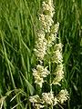 Phalaris arundinacea (3883210312).jpg