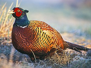 "Common pheasant - Male (""cock"") of hybrid stock in Poland Note thin white neck-band due to a ring-necked subspecies' contribution to hybrid gene pool"