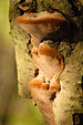 Phellinus - Photo (c) James Lindsey, some rights reserved (CC BY-SA)