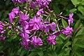 Phlox paniculata Robert Poore 1zz.jpg