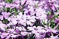 Phlox subulata Purple Beauty 2zz.jpg