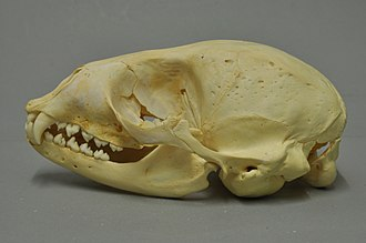 Earless seal - Harbor seal skull (Phoca vitulina)