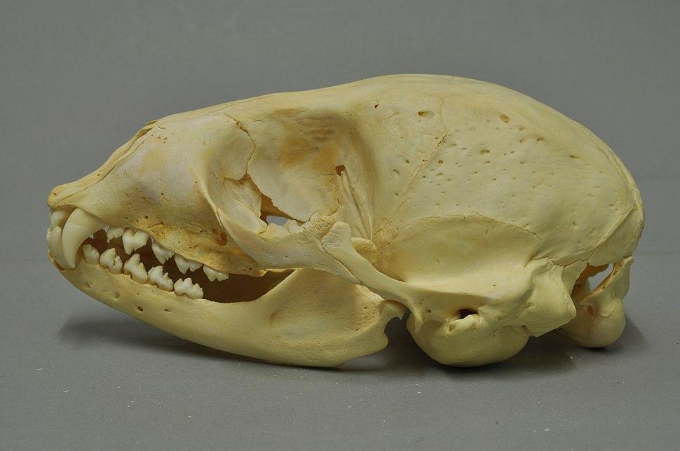 Phoca vitulina 02 MWNH 1464