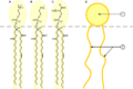 gli steroidi sono simili ai fosfolipidi