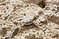 Phrynosoma platyrhinos04.jpg