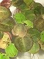 Phyllanthus fluitans clusters.jpg
