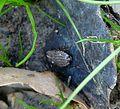 Phyllodromica subaptera. Blattellidae - Flickr - gailhampshire (2).jpg