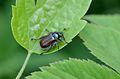 Phyllopertha horticola 011.jpg