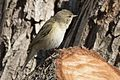 Phylloscopus trochilus - Willow Warbler, Adana 2017-01-15 01-1.jpg