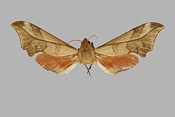 Phylloxiphia illustris, female, upperside. Nigeria, Sobo Plain, BMNHE271366.jpg