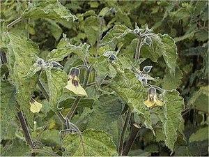 Physalis - strawberry groundcherry (Physalis pruinosa)