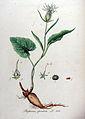 Phyteuma spicatum — Flora Batava — Volume v9.jpg
