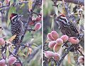 Picoides lignarius - Flickr - Dick Culbert.jpg
