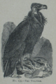 Picture Natural History - No 135 - The Vulture.png