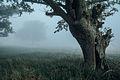 Pień starego drzewa w Rezerwacie Trojan.JPG