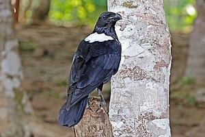 Pied crow - Image: Pied crow (Corvus albus) 2