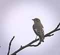 Pied flycatcher (29066321082).jpg