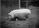 Pig (Small White breed) - 1897.jpg