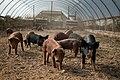 Pigs in hoop house, Polyface Farm.jpg