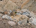 Pika gathering grass for the winter (2835629516).jpg