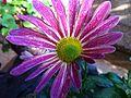 PikiWiki Israel 29556 Purple Flower.JPG