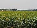 PikiWiki Israel 54006 sunflower.jpg