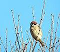 Pilfink Eurasian Tree Sparrow (19728399744).jpg