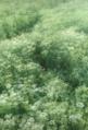 Pimpinella-anisum.png