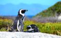 Pingvin3.png