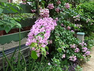 "Bougainvillea - A ""stick"" of pink bougainvillea."