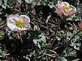 Pink buttercup, Beckwithia andersonii (=Ranunculus andersonii) (47027825462).jpg