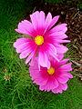 Pink cosmos 03483.jpg