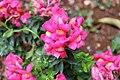 Pink rose-1.jpg