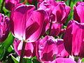 Pink tulips, Floriade 2004.JPG