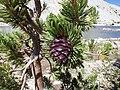 Pinus albicaulis (7888768138).jpg