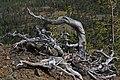 Pinus albicaulis 7872.JPG