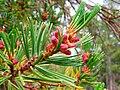 Pinus albicaulis pollen cones.jpg